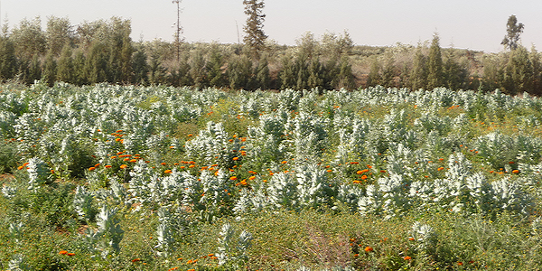 Importateur plantes médicinales