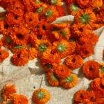 fournisseur plantes médicinales